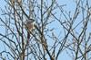Fyrremejse (Poecile montana)