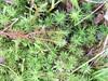 Polytrichum commune var. perigonale (Polytrichum commune var. perigonale)
