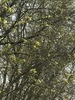Sort Pil (Salix myrsinifolia)