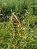 Liden Pileurt (Persicaria minor)