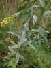 Podosphaera erigerontis-canadensis (Podosphaera erigerontis-canadensis)