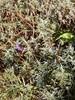 Ægte Lavendel (Lavandula angustifolia)