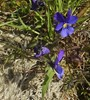 Klit-Stedmoderblomst (Viola tricolor ssp. curtisii)