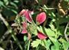 Stribet Kløver (Trifolium striatum)