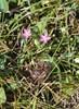Liden Tusindgylden (Centaurium pulchellum)