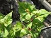 Tatarisk Boghvede (Fagopyrum tataricum)