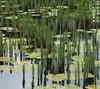 Foto/billede af Vandspirfamilien - Hippuridaceae