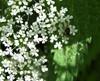 Oplodontha viridula (Oplodontha viridula)