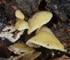 Blød Muslingesvamp (Crepidotus mollis)