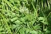 Hyldebladet Baldrian (Valeriana sambucifolia ssp. sambucifolia)