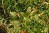 Tvespidset Sækmos (Calypogeia fissa)