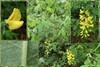 Hybrid-Guldregn (Laburnum x watereri)