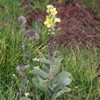 Filtbladet Kongelys (Verbascum thapsus)