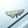 Bynke-Dværgmåler (Eupithecia succenturiata)