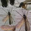 Orfelia nemoralis (Orfelia nemoralis)