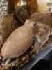 Foto/billede af Octopodidae - Octopodidae