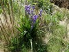 Skilla sp. (Hyacinthoides sp.)