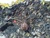 Søtykkæbe (Pachygnatha clercki)