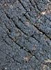 Glat Børstekerne (Ruzenia spermoides)