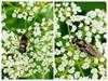 Rørhat-Urtesvirreflue (Cheilosia scutellata)