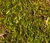 Foto/billede af Leskeaceae - Leskeaceae