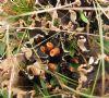 Hinde-Skjoldlav (Peltigera hymenina)