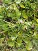 Foto/billede af Slangerodfamilien - Aristolochiaceae