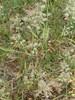 Poa pratensis ssp. irrigata var. irrigata (Poa pratensis ssp. irrigata var. irrigata)