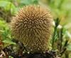 Pindsvine-Støvbold (Lycoperdon echinatum)