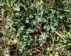 Blød Storkenæb (Geranium molle)