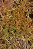 Skægget Flerfligmos (Lophozia barbata)