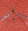 Tipula scripta (Tipula scripta)