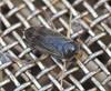 Brakvandsbugsvømmer (Sigara stagnalis)