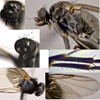 Diplonevra nitidula (Diplonevra nitidula)
