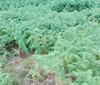 Foto/billede af Ørnebregnefamilien - Dennstaedtiaceae