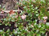 Hede-Melbærris (Arctostaphylos uva-ursi)