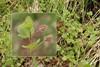 Vedbend-Ærenpris (Veronica hederifolia ssp. hederifolia)
