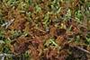 Almindelig Frynsemos (Ptilidium ciliare)