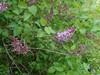 Almindelig Syren (Syringa vulgaris)