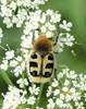 Lille Humlebille (Trichius rosaceus)