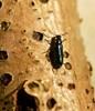 Malakitbille ubest. (Malachiidae indet.)