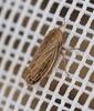 Brun Sumpcikade (Macustus grisescens)