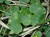 Entyloma chrysosplenii (Entyloma chrysosplenii)