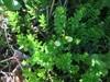 Storfrugtet Tranebær (Vaccinium macrocarpon)