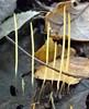 Trådagtig Køllesvamp (Macrotyphula juncea)