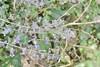 Ægte Blåkant (Nepeta racemosa)