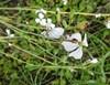 Salatsennep (Eruca vesicaria ssp. sativa)
