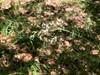 Bleg Frytle (Luzula luzuloides)