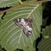Jordbær-Bladmåler (Dysstroma truncata)