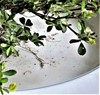Fin Kløver (Trifolium dubium)
